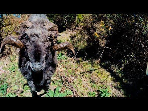 Rambro, o carneiro que abate Drones (vídeo)
