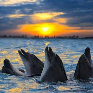 Dolphins At Sunset .. Awesome <3