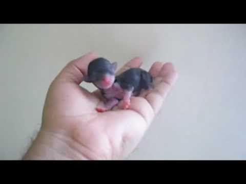 newborn chihuahua
