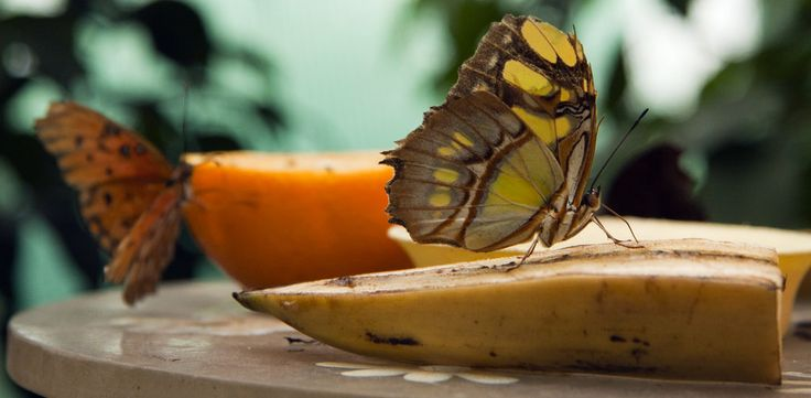 What do butterflies eat in captivity. Sustaining BUTTERFLIES: Sustaining a butterfly that you have raised or found can be entirely simple. As a rule a butterfly found on