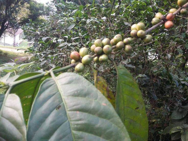Coffea sp