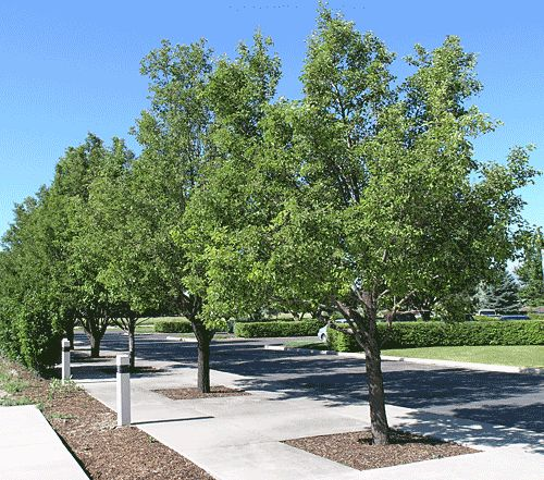 Small Ornamental Trees For Kansas: 535 Best Harvey County KS; TREES Approved For Images On