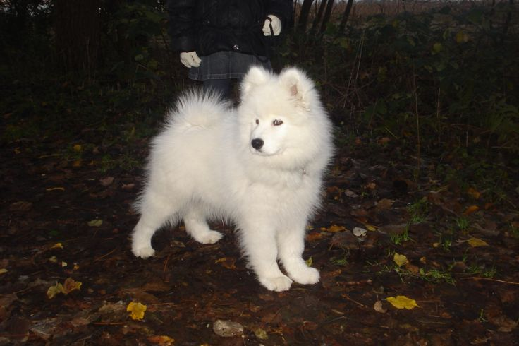 samojeed puppy fedor in the forrest