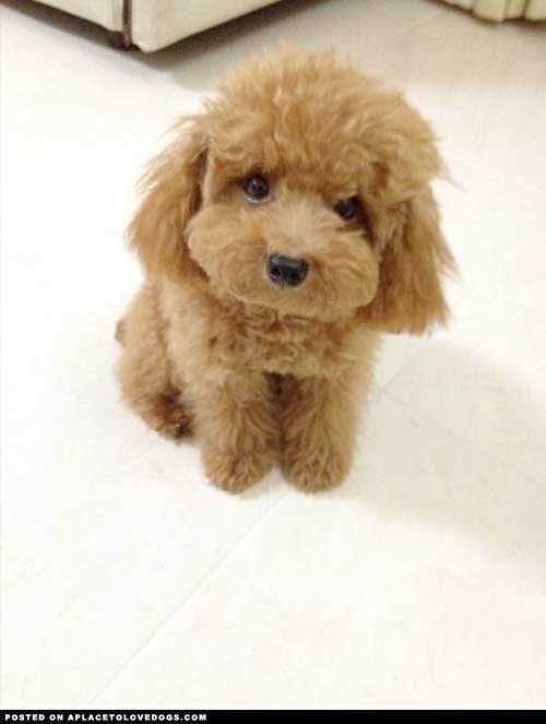 Hi, my name is Gravy and I am a Toy Poodle. I am a sweet, fluffy and lovable dog Submitted by Kelvin K Original Article