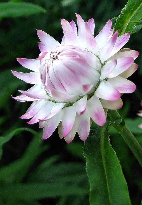 ensphere: (via Pinterest / Search results for strawflower)