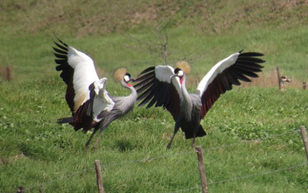Spring is in the air – a pair of Grey Crowned Cranes doing a mating dance