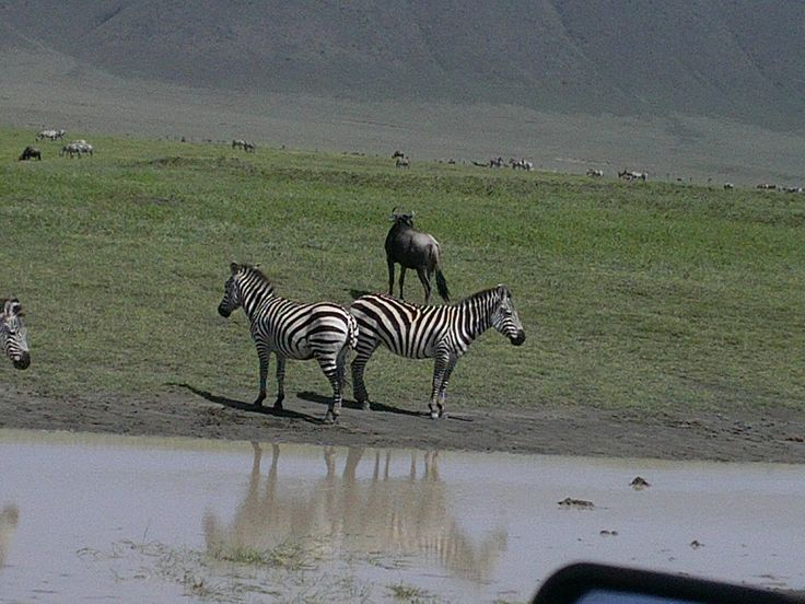 zebra's taking a deep breath