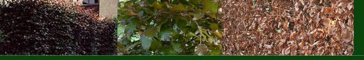 Rode beuk - Fagus sylv. Atropunicea. De Beuk is zeer geschikt voor haag, en wordt ook al sinds decennia gebruikt als haagplant bij boerderijen. U kunt een zeer mooie strakke haag realiseren die in de zomer groen is en de winter bruin. Goed te gebruiken voor vormen zoals kolommen, zuilen en blokken. Stam moet bedekt zijn voor bescherming tegen de zon.