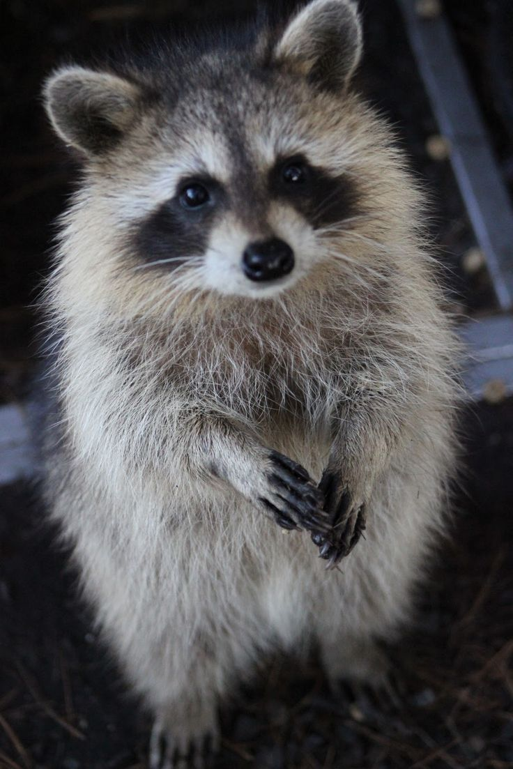 Missouri & Illinois Raccoon Conflicts and Advice