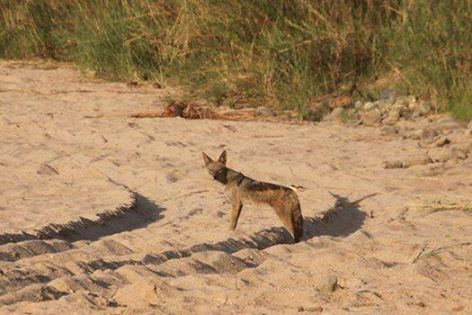 What an incredible sighting at River Lodge this morning! As we were crossing this dry river bed, we came across this shy Black Backed Jackal! Still don't know who was more surprised......