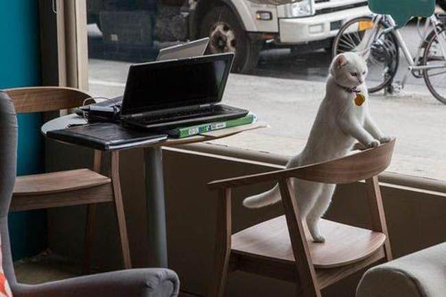 """It's Official, Montreal's """"Cat Café Montréal"""" On Saint-Denis Street Opens July 2014"""