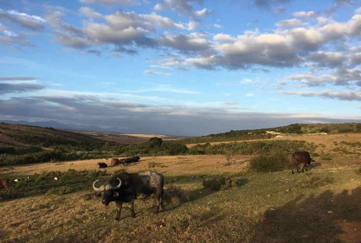 Buffels in Zuid-Afrika (Foto: Emma Blanchard)