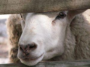 """Cumple 15 años, """"Dolly"""", el primer animal clonado…"""