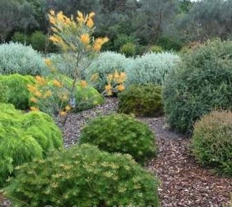 Pruning Australian native plants