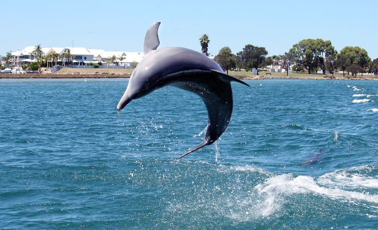 One of Mandurah's dolphins leaping for joy.