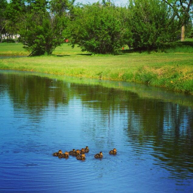 Our little duckies!  Glendale Golf & Country Club  Winnipeg, MB  Canada