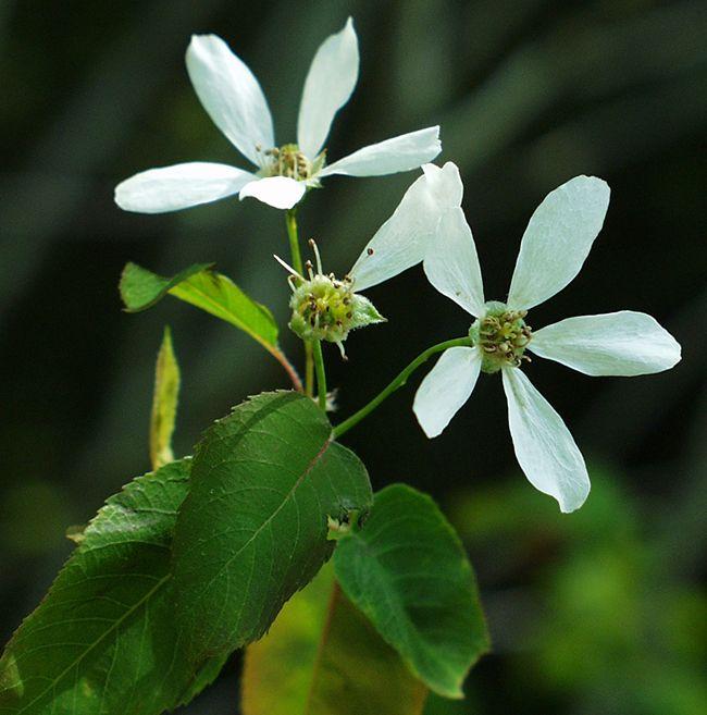 Malus toringo var. sargentii early summer blooming | Buskar