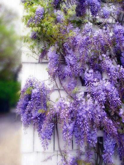 .: Flowers Gardens, Ideas, Secret Gardens, Purple, Colors, Green Natural, Spring Wisteria, Beautiful Flowers, Jessica Jenney