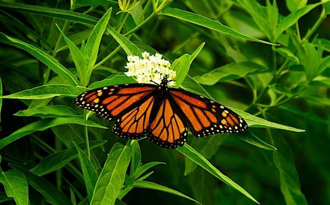 The monarch butterfly needs milkweed to survive. Here's how to get seeds