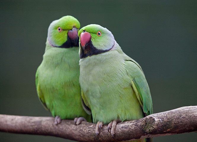 Ring-necked parakeets [Photo: Krys Bailey/Alamy]