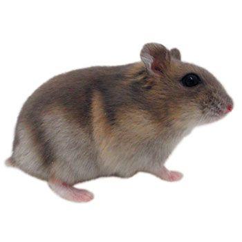 Djungarian Hamster My Pet Dreamboard Pinterest