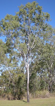 Corymbia tessellaris - Wikipedia, the free encyclopedia
