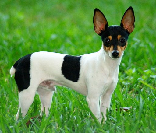TOY FOX TERRIER    The Toy Fox Terrier is a very small terrier breed of dog that descended from the larger, standard Smooth Fox Terrier. They are very active and strong-willed dogs, true to their terrier heritage, but are deeply faithful to their owners and families.