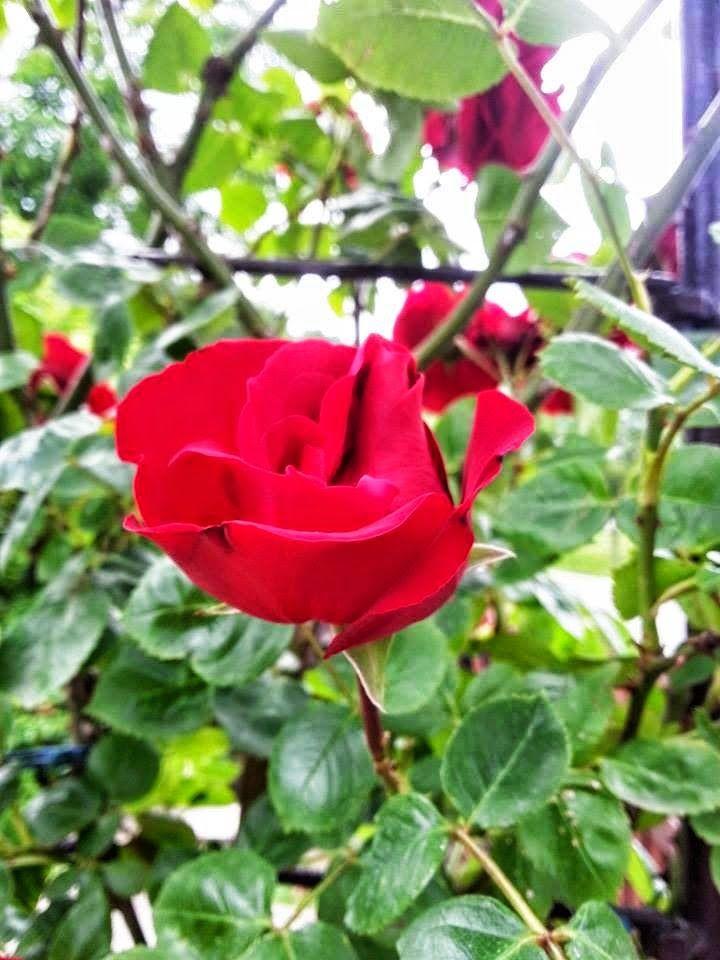 Babcine dzierganie: Moje róże .