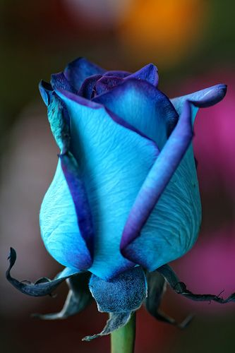 ~~ blue rose Beautiful Flowers| http://holidays-events-7924.blogspot.com