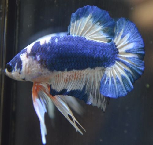 342 best images about betta fish on pinterest copper for List of fish that can live with bettas