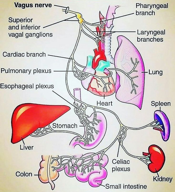 The vagus nerve is the tenth cranial nerve and interfaces ...
