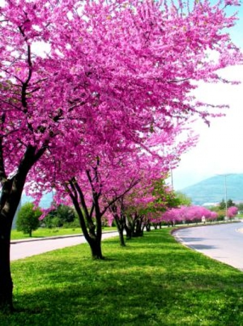 Judas Tree. It is said that the Judas Tree is the tree on which Judas hung himself after betraying Our Lord.