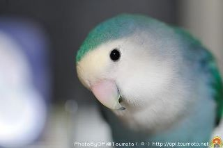 My fave color of lovebird. - So beautiful <3 VP