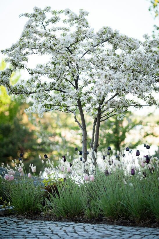 Gorgeous combination - great for night viewing -Ulf Nordfjell Malus sargentii, Sesleria nitida, Tulipa `Queen of Night´och T. `Apricot Beauty´