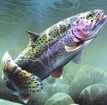 Several truckloads of beautiful rainbow trout, brown trout, and brook trout hit the water on Thursday of this week, just in time for the weekend, reported Jimmy Getty at the Pro Shop. Description from philfriedmanoutdoors.typepad.com. I searched for this on bing.com/images
