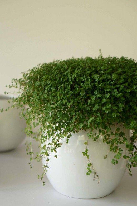 """Солейролия — зелёный шар.  Солейролия, относящаяся к семейству крапивных, культивируется у нас более ста лет. Маленькие, образующие ковер растения с тонкими нитевидными побегами, на которых """"сидят"""" мелкие овальные листочки, в теплых краях выращивают как балконное растение. У нас его культивируют в горшках, и оно образует не ковер, а маленький """"шар""""."""