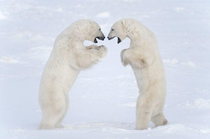 Умилительные, удивительные белые медведи;)) Фотоохота Дейзи Джилардини (Daisy Gilardini)