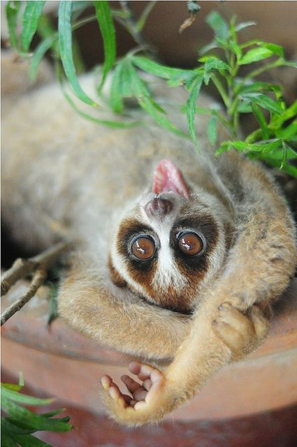 animals-plus-nature:    Bell, the slow loris. by Sham Jolimie on Flickr.