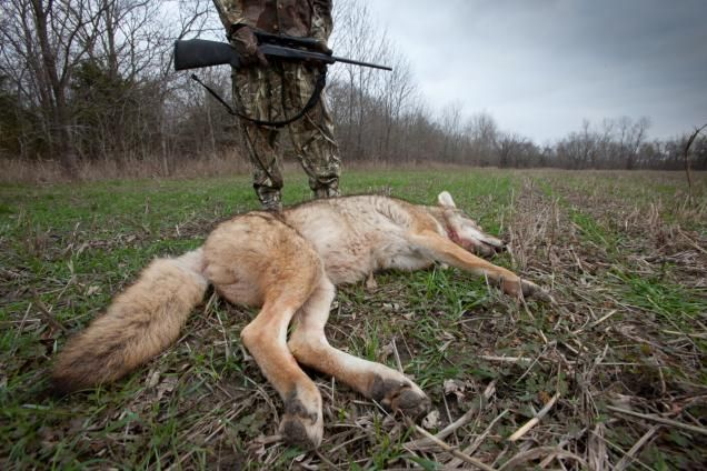 Eichler, South, Zepp. They make it look so easy. No matter how many times you watch the coyote-killing team on video, you just can't figure out how to duplicate their success. While those guys seem to bring coyotes running to the gun every time they make a rabbit squeal, you've...