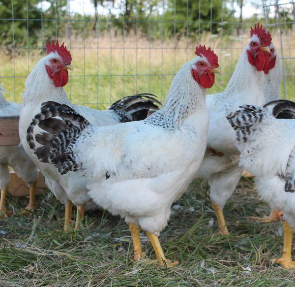Antiquity Oaks: Raising Delaware chickens