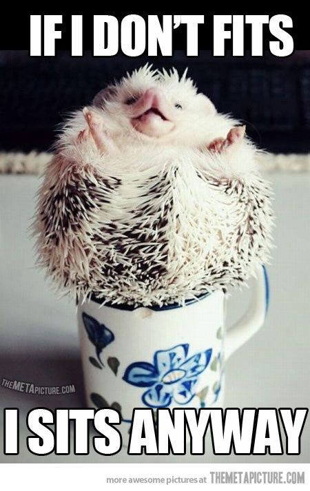 Rebel porcupine is rebel...  too bad the idiot that posted this doesn't know the difference between a HEDGEHOG and a PORCUPINE!   cute HEDGEHOG!