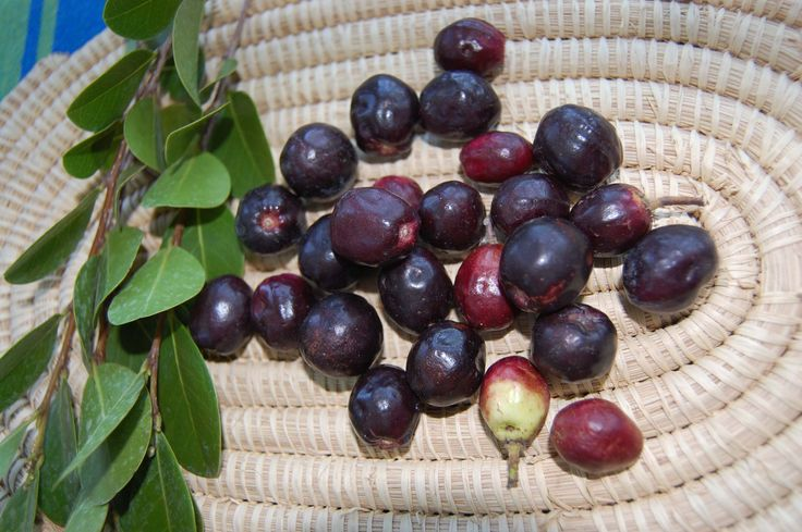 13 Amazing Coco plum Health Benefits For Human Beings