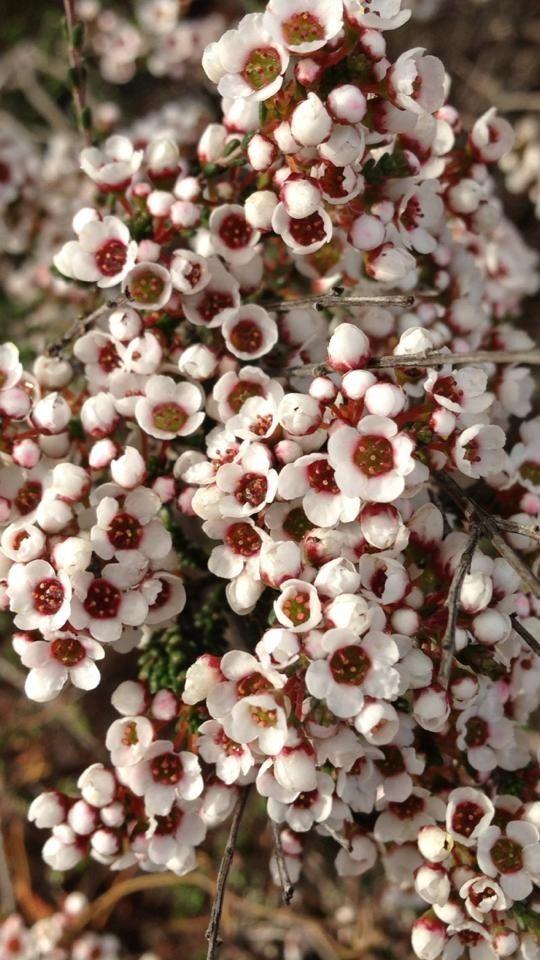Wildflowers spotted at Cambinata Yabbies, Wheatbelt of Western Australia