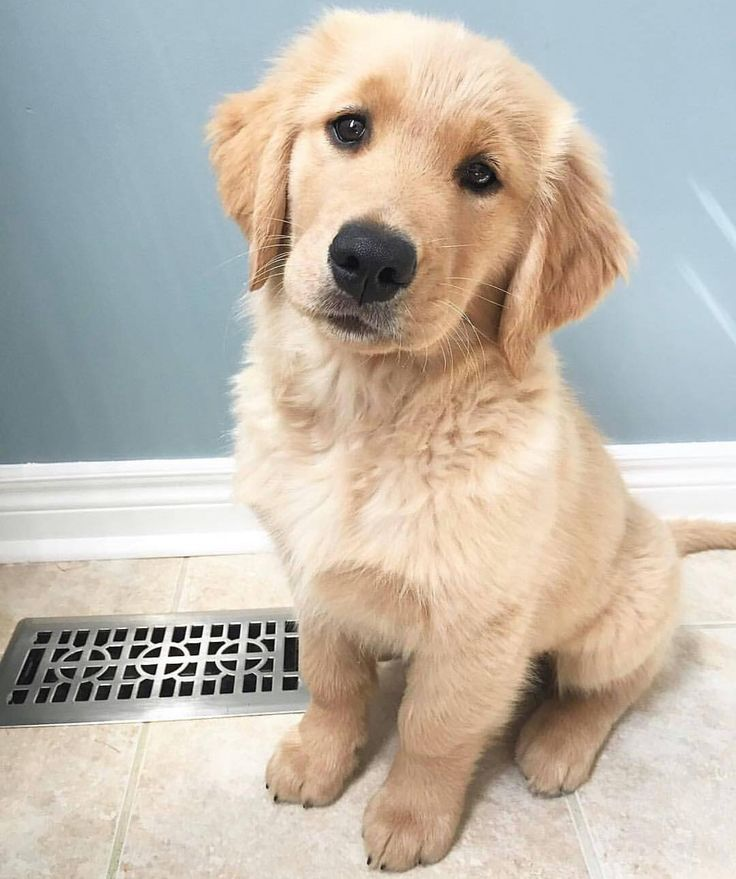 Golden retriever puppy - Tap the pin for the most adorable pawtastic fur baby apparel! You'll love the dog clothes and cat clothes! <3