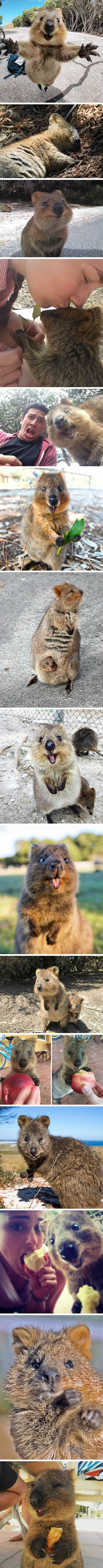 Snap-Happy Quokka Is The Most Playful Creature On The Planet - 9GAG