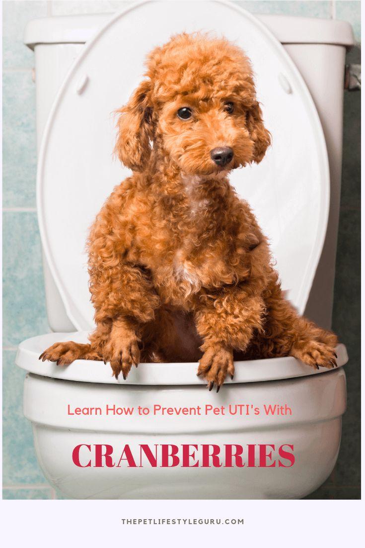 Combat Your Dog S Uti With Cranberries The Pet Lifestyle Guru Recipe Dog Uti Pets Dogs