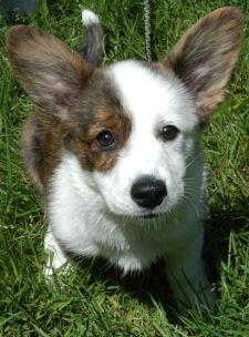 Welsh #corgi :) What a cutie!!!!