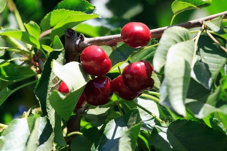 cherry picking season california   WELCOME TO OUR FAMILY FARM!