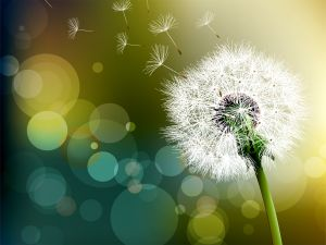 Dandelion Flower bokeh effect photography