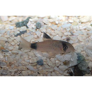 1000 Images About Freshwater Aquarium Fish On Pinterest